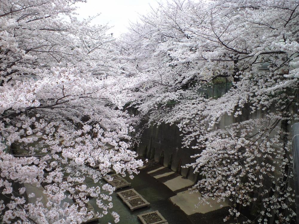 Shakujigawa2008